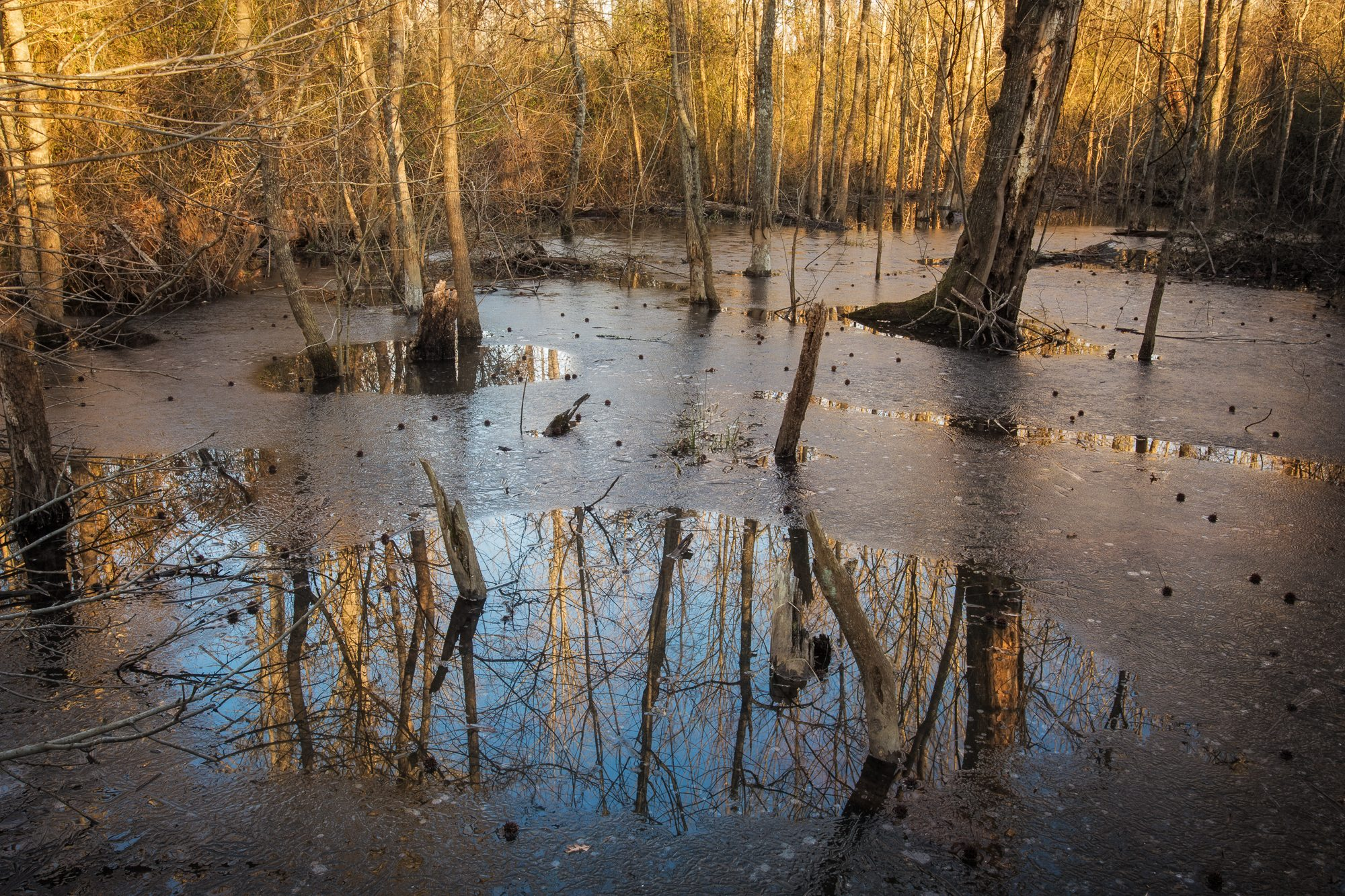 Wetland forests provide many ecosystem services like water filtration and carbon storage.