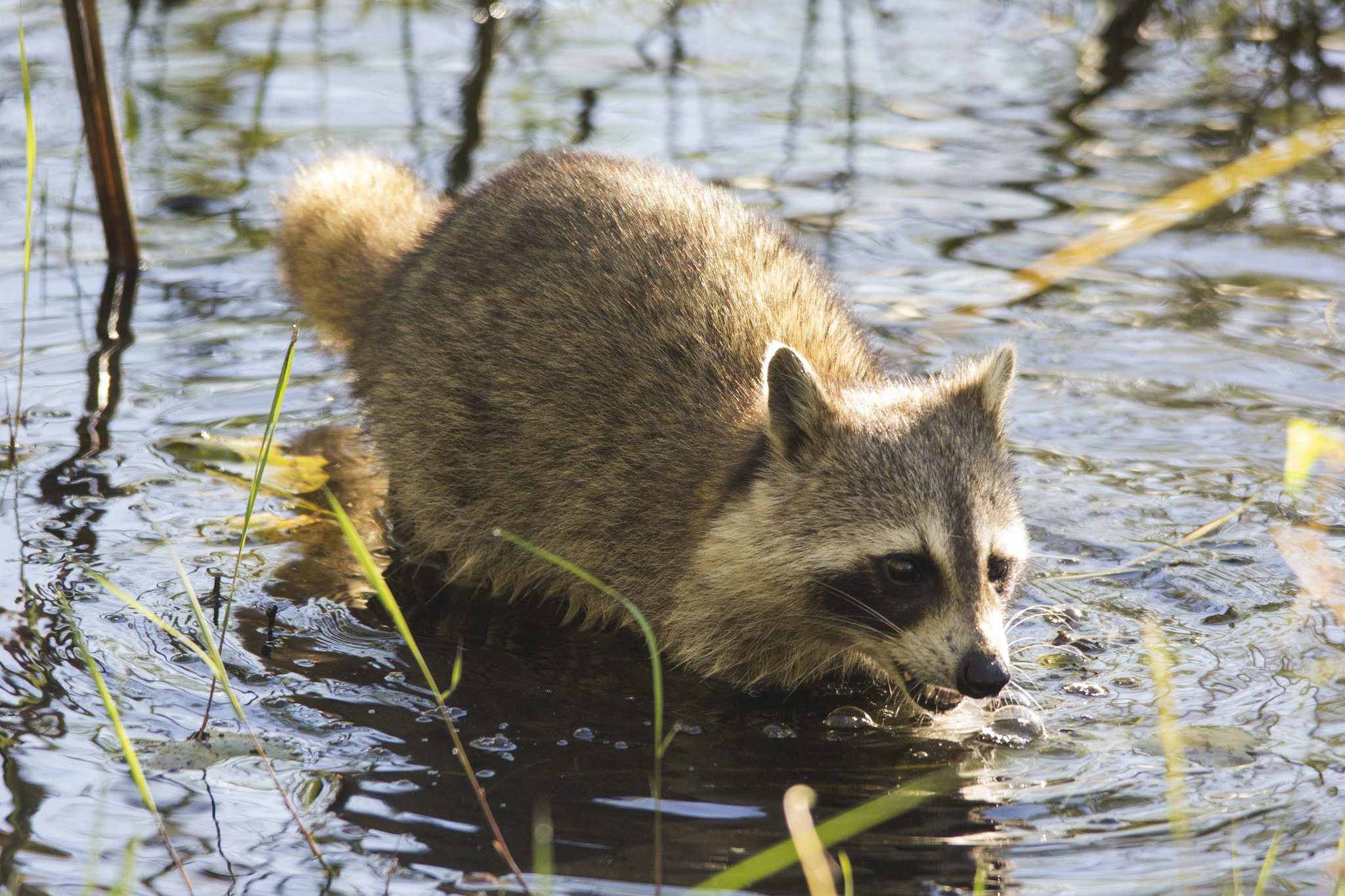 A raccoon wades through a swamp